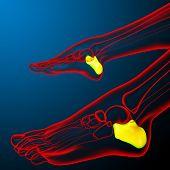 3D Render Illustration Of The Human Calcaneus Bone