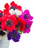 stock photo of windflowers  - bouquet of blue pink and red fresh anemone flowers close up isolated on white background - JPG
