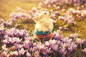 stock photo of chiwawa  - Chihuahua dog and gentle purple crocus flowers  filtered sunny spring background - JPG