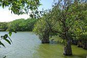 pic of swamps  - Mangrove swamp on the island of Omotepe in Nicaragua - JPG