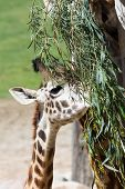 picture of feeding  - portrait of a small young giraffe feeding on green leaves - JPG