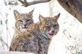picture of bobcat  - close up of two wild bobcats in bright desert sunshine staring at the camera - JPG