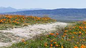 pic of antelope  - Early spring flowers blooming along the walking trail of the Antelope Valley Poppy Preserve in California