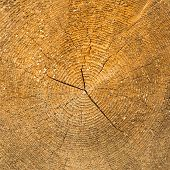 pic of cross-section  - Wood texture in square format - JPG