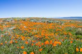 foto of antelope  - Springtime in California thousands of flowers blooming on the hills of the Antelope Valley California Poppy Preserve - JPG