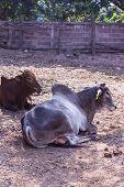picture of female buffalo  - Thai Cows In Farm  - JPG