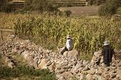 stock photo of donkey  - Two local working on a corn field - JPG