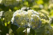 picture of hydrangea  - Hydrangea Hydrangea is a genus in the family of Hydrangeaceae Hydrangeaceae - JPG