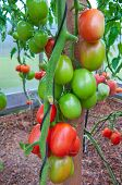 pic of tomato plant  - Tomatoes plant in the greenhouse  - JPG
