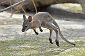 stock photo of wallabies  - Juvenile Red - JPG