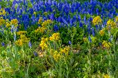 stock photo of texas star  - A Closeup View of a Beautiful Field Blanketed with the Famous Texas Bluebonnet  - JPG