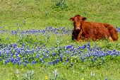 image of texas star  - A Red Texas Cow in a Beautiful Field Blanketed with the Famous Texas Bluebonnet  - JPG