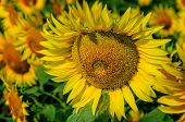 picture of bee keeping  - Bees collect nectar from beautiful  yellow sunflower - JPG