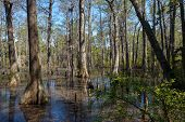 foto of swamps  - Bald Cypress trees in the swamps of First Landing State Park located in Virginia Beach Va - JPG