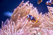 stock photo of clown fish  - Colorful Clown fish swimming by anemone at a coral reef - JPG