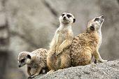 image of meerkats  - A group of three cute Meerkats standing alert - JPG