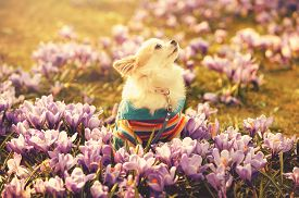 pic of chiwawa  - Chihuahua dog and gentle purple crocus flowers  filtered sunny spring background - JPG
