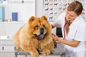 stock photo of chow-chow  - Veterinary by listening to a Chow Chow dog in his clinic - JPG