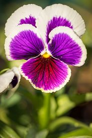 stock photo of viola  - Purple Viola Tricolor Pansy flowers with natural Green background - JPG