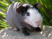 Skinny Pig In California
