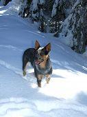 pic of heeler  - Blue Heeler dog standing in deep snow drift - JPG