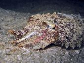 Night Cuttlefish