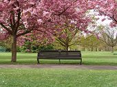Bench under pink blossoms in Greenwich Park, London