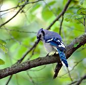 pic of blue jay  - Blue jay perched on a tree branch