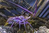 Blacklight Glowing Purple Lobster In A Fishtank poster