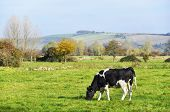 Cow in a meadow, english countryside landscape in autumn