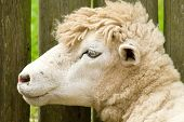 Classy Sheep