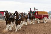 APACHE JUNCTION, AZ - FEBRUARY 26: The Budweiser Clydesdale horses perform at the Lost Dutchman Days