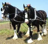 stock photo of shire horse  - Working shire horses - JPG