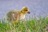 Portrait of a graylag goose chick (anser anser).