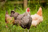 image of martha  - Chickens gather in the field on a farm on Martha - JPG