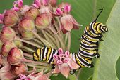 Monarch Caterpillar On Milkweed 7