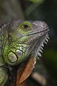 Close Up Of Iguana