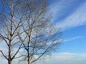 Winter Aspens