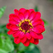 Beautiful Wild Flower In The Meadow: Color Red poster