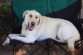 Labrador Relaxing In A Camping Chair