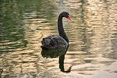 Black Swan (cygnus Atratus) Swimming On A Calm Lake