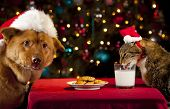 stock photo of misbehaving  - Cat and Dog eating and drinking Santa - JPG