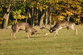 Fighting fallow deers in rut with autumn wood in background