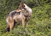 Wolf In Denali Park - Alaska.