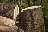 A Large Trunk Of The Tree Lies On The Ground. Cutting Down Trees. Cutting From The Chainsaw. poster
