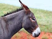 stock photo of burro  - One of the famous begging burros of Custer State Park in South Dakota - JPG