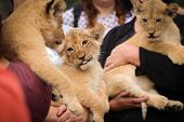Three Babies Lion In Hand. Photo From Animals, Which Living In Captivity. Wild Cat Feline. Little Ni poster