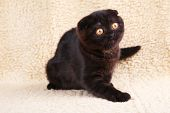 Black Cat British Shorthair With Yellow Eyes On Beige Background poster