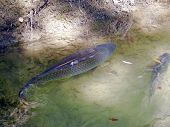 Freshwater Fish In The River
