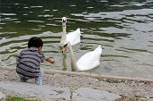 Child Feeding Two Swan